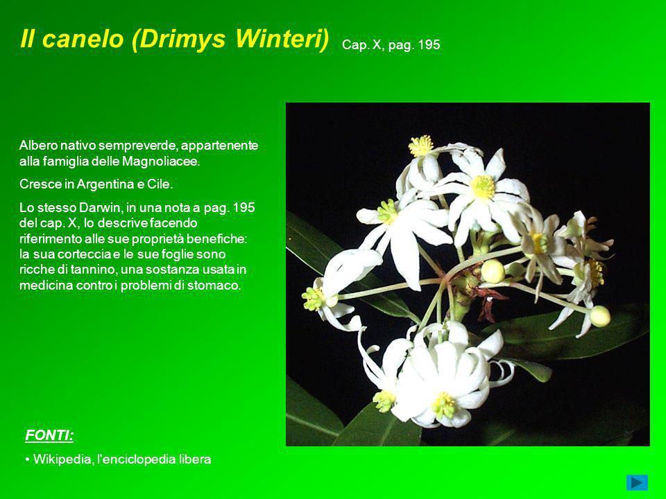 Il canelo (Drimys Winteri) Albero nativo sempreverde, appartenente alla famiglia delle Magnoliacee. Cresce in Argentina e Cile. Lo stesso Darwin, in u