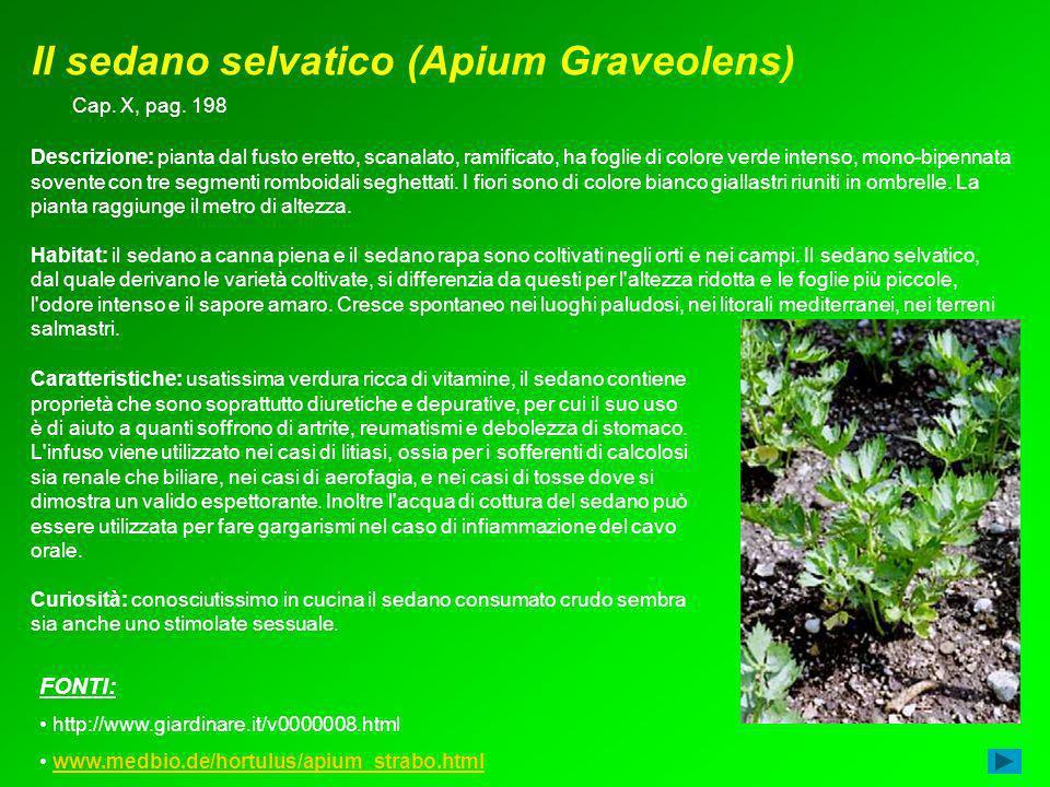 Il sedano selvatico (Apium Graveolens) Caratteristiche: usatissima verdura ricca di vitamine, il sedano contiene proprietà che sono soprattutto diuret