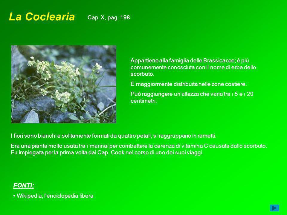 La Coclearia Appartiene alla famiglia delle Brassicacee; è più comunemente conosciuta con il nome di erba dello scorbuto. È maggiormente distribuita n