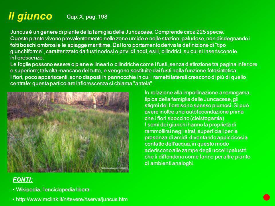 Il giunco Juncus è un genere di piante della famiglia delle Juncaceae. Comprende circa 225 specie. Queste piante vivono prevalentemente nelle zone umi