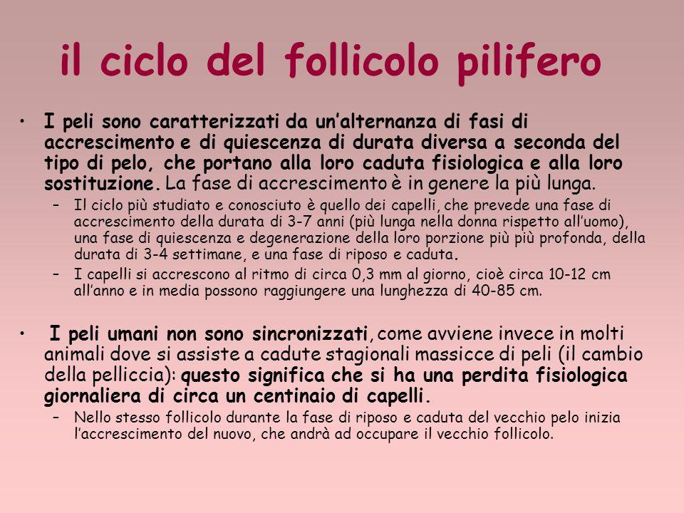 il ciclo del follicolo pilifero I peli sono caratterizzati da unalternanza di fasi di accrescimento e di quiescenza di durata diversa a seconda del tipo di pelo, che portano alla loro caduta fisiologica e alla loro sostituzione.