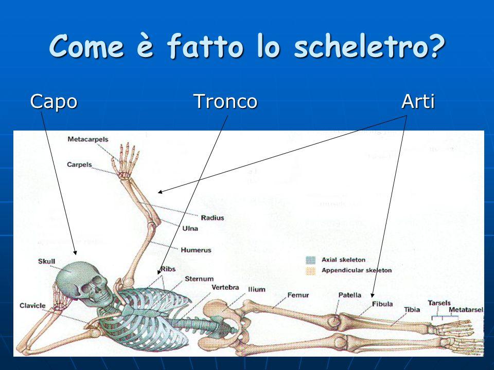 Come è fatto lo scheletro? Capo Tronco Arti