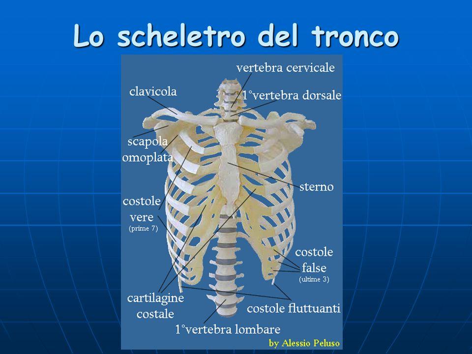 Lo scheletro del tronco