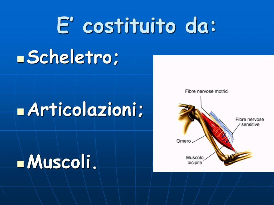Funzioni 1.Proteggere gli organi; 2. Sostenere e dare forma al corpo; 3.