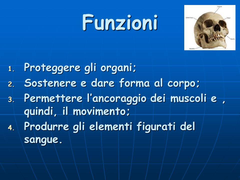 Funzioni 1. Proteggere gli organi; 2. Sostenere e dare forma al corpo; 3. Permettere lancoraggio dei muscoli e, quindi, il movimento; 4. Produrre gli