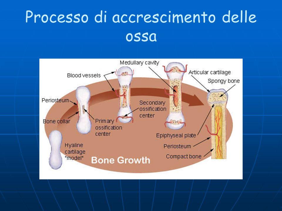 Processo di accrescimento delle ossa