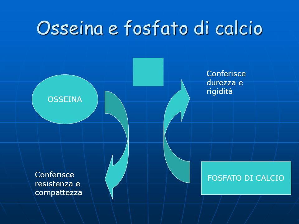 Osseina e fosfato di calcio OSSEINA FOSFATO DI CALCIO Conferisce resistenza e compattezza Conferisce durezza e rigidità