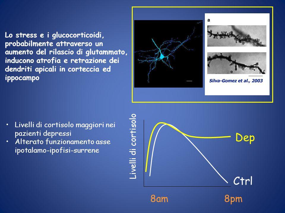 Lo stress e i glucocorticoidi, probabilmente attraverso un aumento del rilascio di glutammato, inducono atrofia e retrazione dei dendriti apicali in c