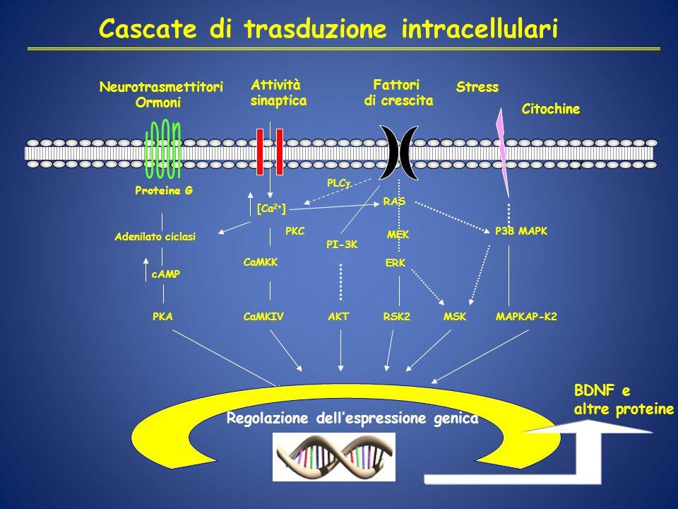 Cascate di trasduzione intracellulari Neurotrasmettitori Ormoni Attività sinaptica Fattori di crescita Stress Citochine Adenilato ciclasi cAMP PKA [Ca