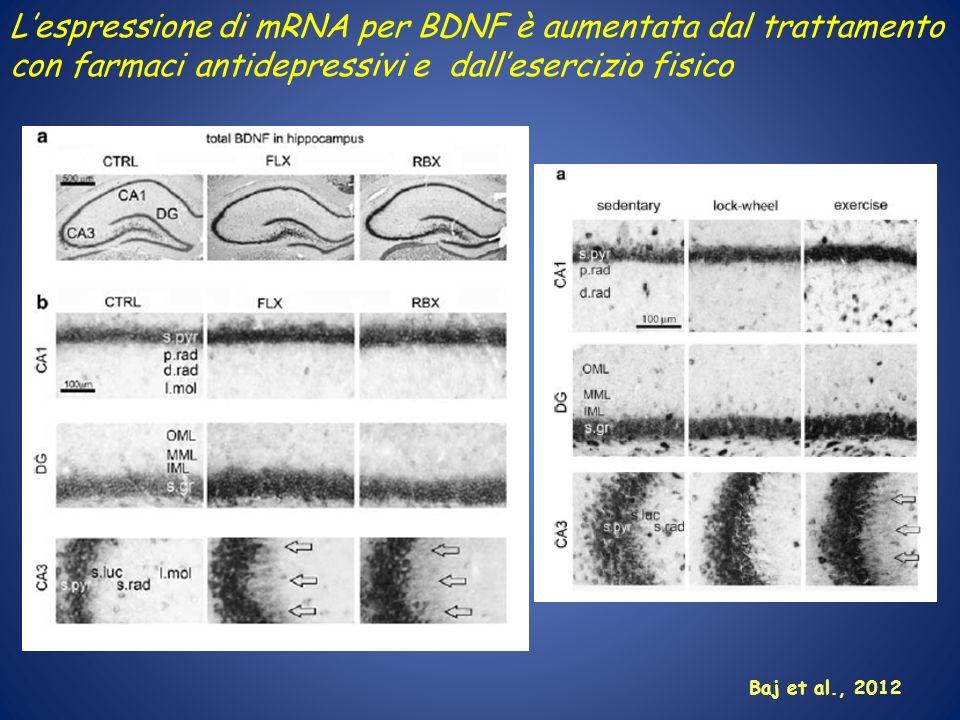 Lespressione di mRNA per BDNF è aumentata dal trattamento con farmaci antidepressivi e dallesercizio fisico Baj et al., 2012