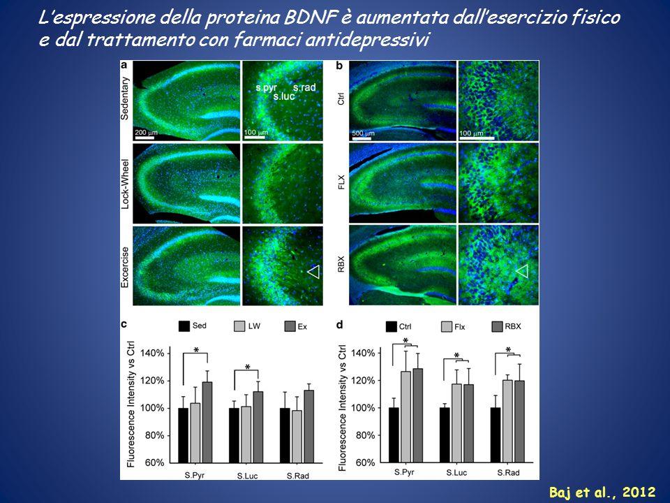 Lespressione della proteina BDNF è aumentata dallesercizio fisico e dal trattamento con farmaci antidepressivi Baj et al., 2012