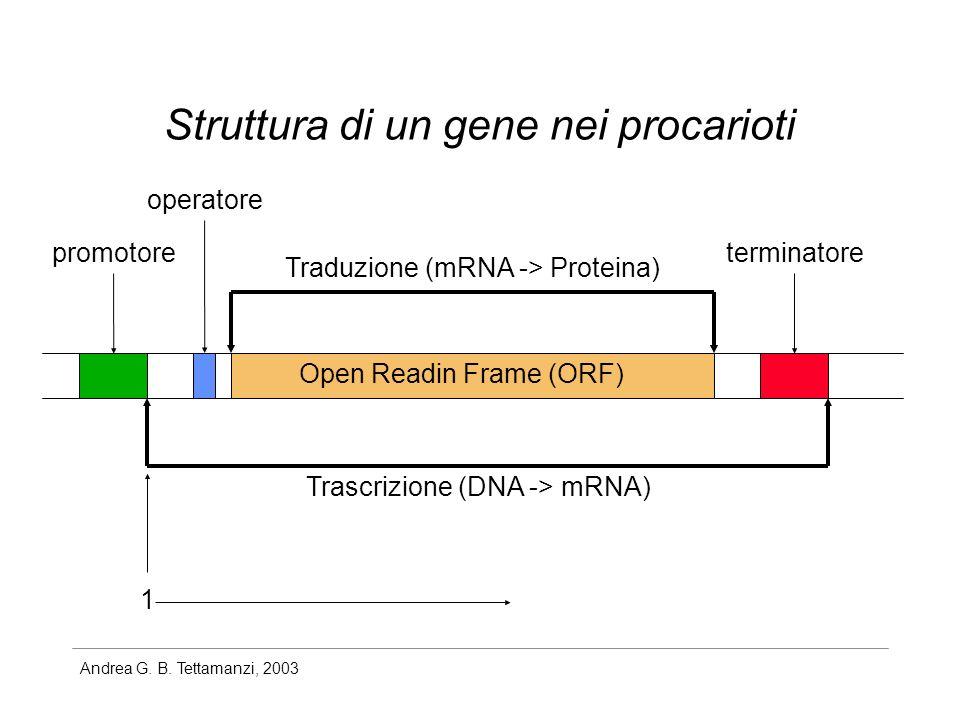 Andrea G. B. Tettamanzi, 2003 Struttura di un gene nei procarioti promotore operatore Open Readin Frame (ORF) terminatore Trascrizione (DNA -> mRNA) T