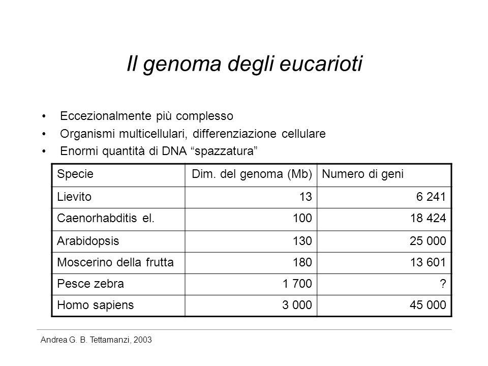 Andrea G. B. Tettamanzi, 2003 Il genoma degli eucarioti Eccezionalmente più complesso Organismi multicellulari, differenziazione cellulare Enormi quan