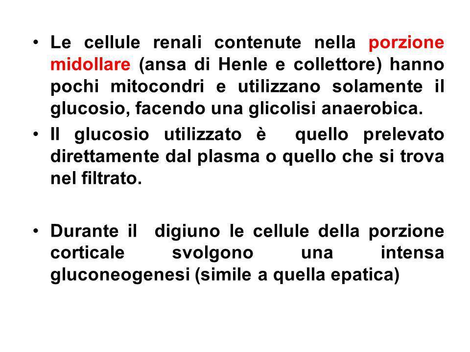 Le cellule renali contenute nella porzione midollare (ansa di Henle e collettore) hanno pochi mitocondri e utilizzano solamente il glucosio, facendo u