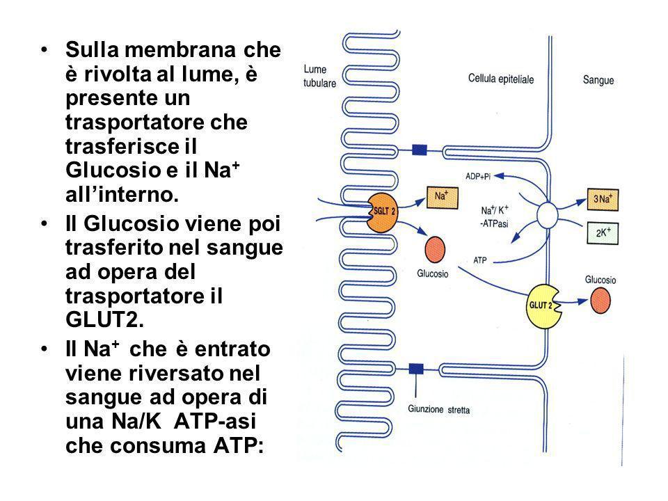 Sulla membrana che è rivolta al lume, è presente un trasportatore che trasferisce il Glucosio e il Na + allinterno. Il Glucosio viene poi trasferito n
