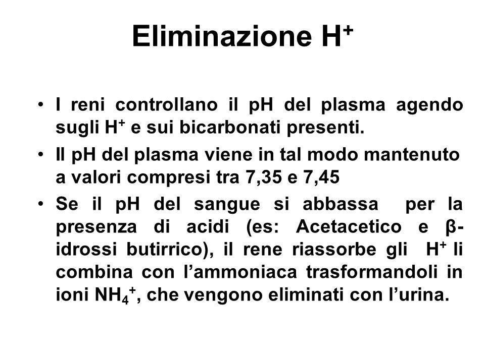 Eliminazione H + I reni controllano il pH del plasma agendo sugli H + e sui bicarbonati presenti. Il pH del plasma viene in tal modo mantenuto a valor
