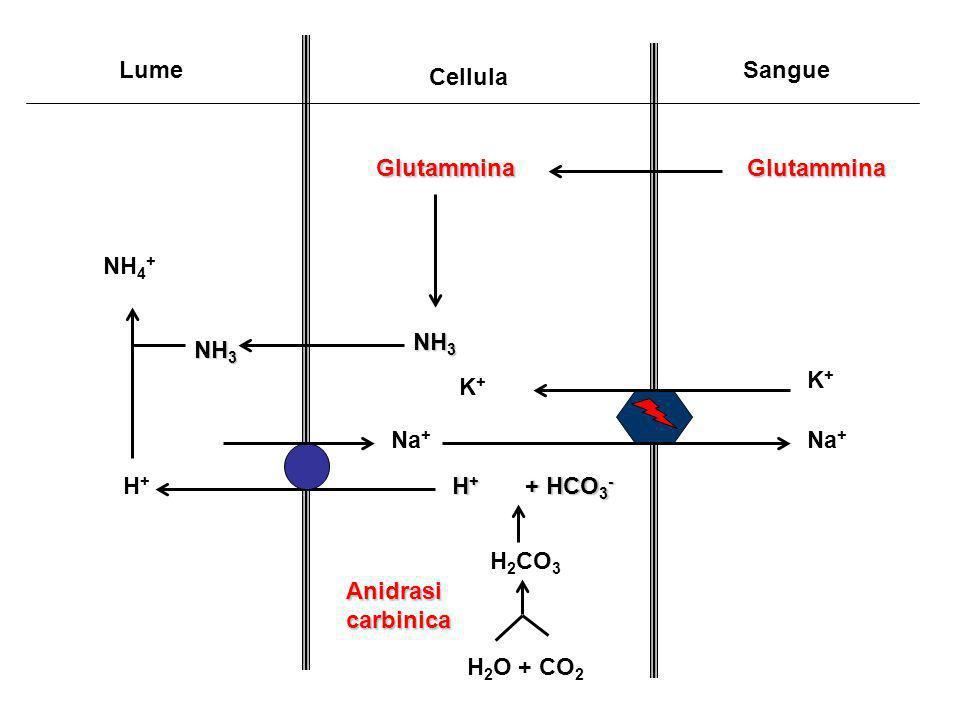 Lume Cellula Sangue GlutamminaGlutammina NH 3 H 2 O + CO 2 H + + HCO 3 - H 2 CO 3 H+H+ NH 4 + Na + K+K+ K+K+ Anidrasi carbinica