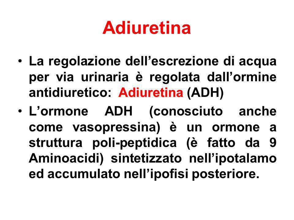 Adiuretina AdiuretinaLa regolazione dellescrezione di acqua per via urinaria è regolata dallormine antidiuretico: Adiuretina (ADH) Lormone ADH (conosc