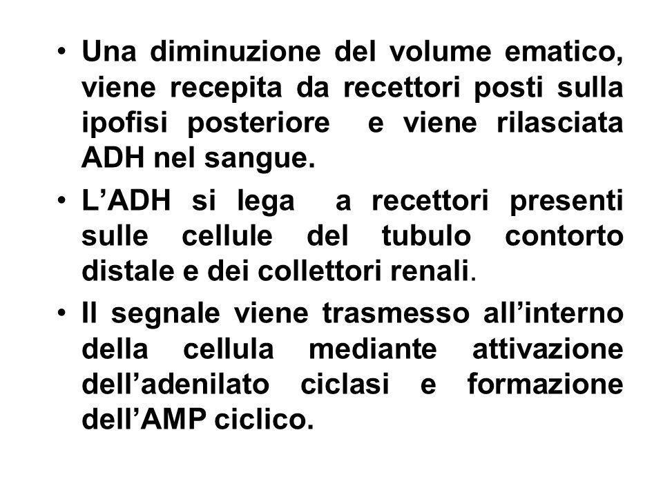 Una diminuzione del volume ematico, viene recepita da recettori posti sulla ipofisi posteriore e viene rilasciata ADH nel sangue. LADH si lega a recet