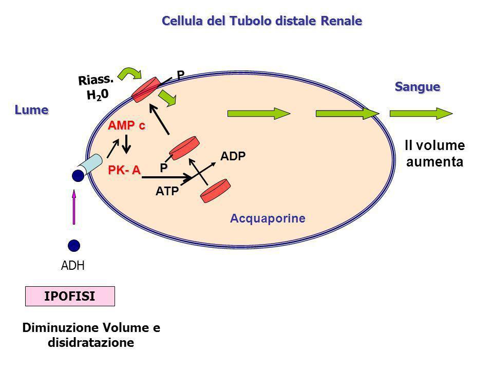 Cellula del Tubolo distale Renale Lume Diminuzione Volume e disidratazione IPOFISI ADH Sangue AMP c PK- A P ATP ADP Acquaporine Riass. H 2 0 P Il volu