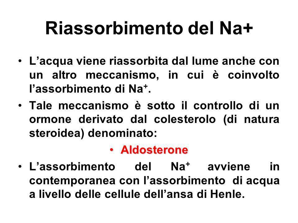 Riassorbimento del Na+ Lacqua viene riassorbita dal lume anche con un altro meccanismo, in cui è coinvolto lassorbimento di Na +. Tale meccanismo è so