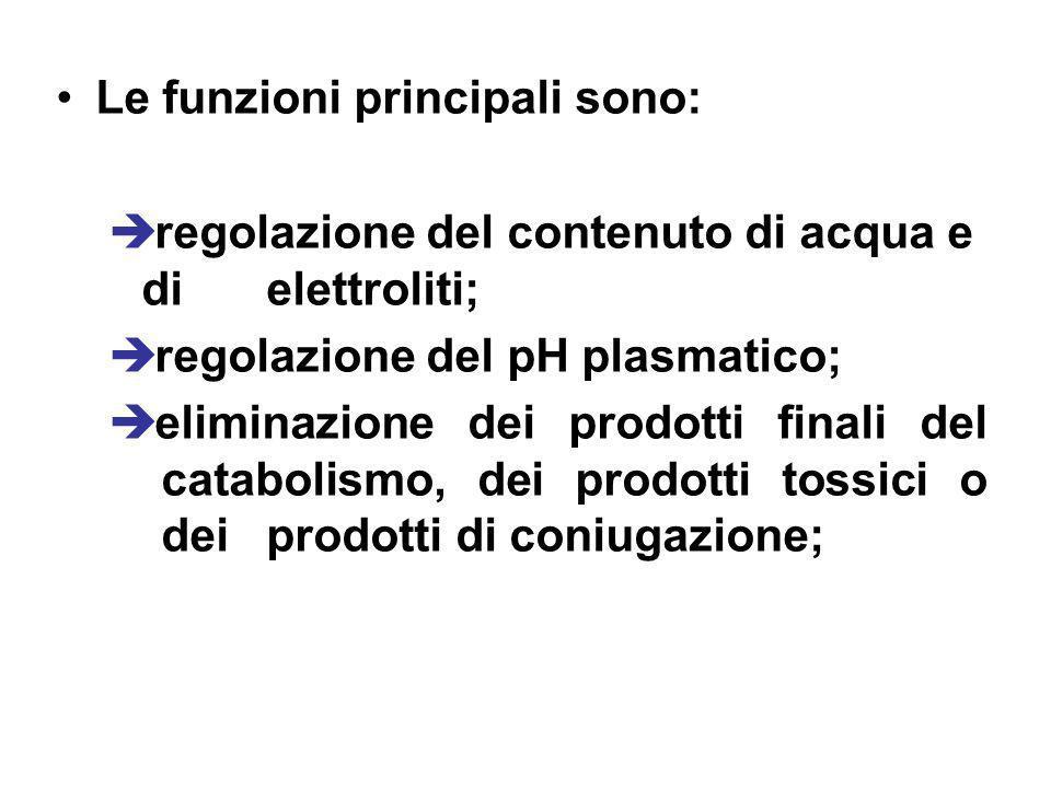 Le funzioni principali sono: regolazione del contenuto di acqua e di elettroliti; regolazione del pH plasmatico; eliminazione dei prodotti finali del