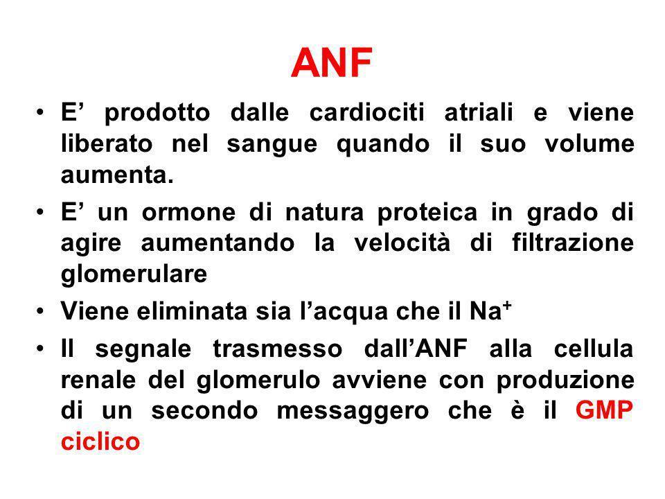ANF E prodotto dalle cardiociti atriali e viene liberato nel sangue quando il suo volume aumenta. E un ormone di natura proteica in grado di agire aum