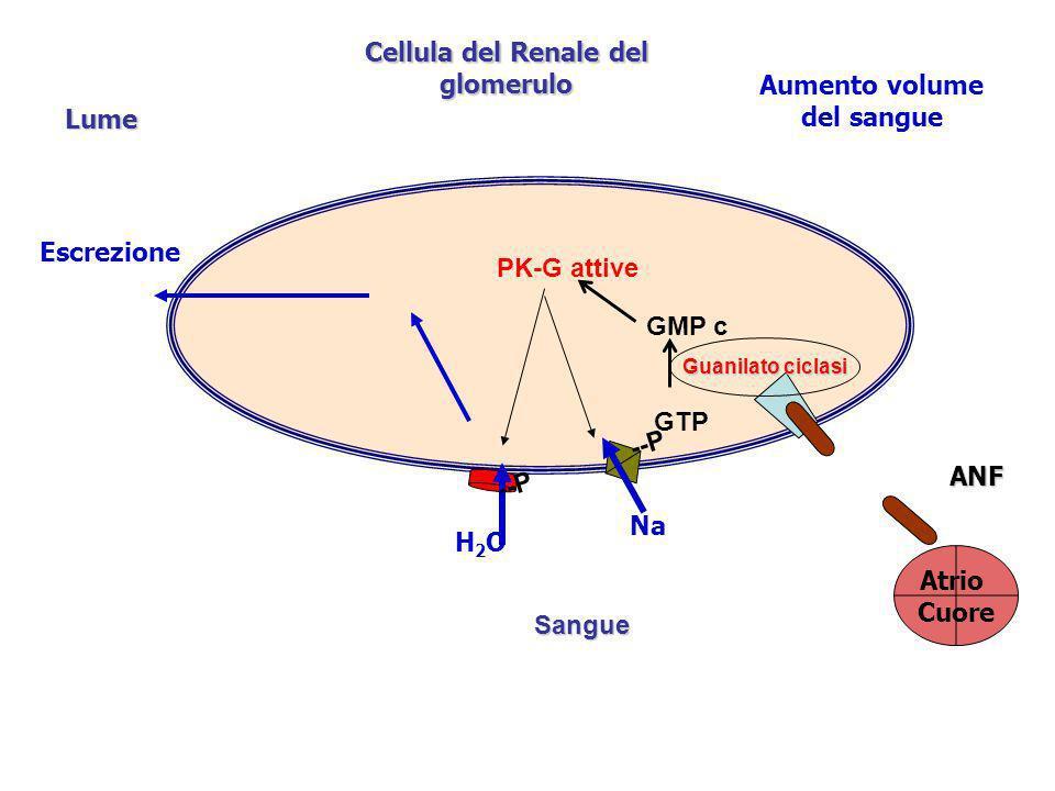 Cellula del Renale del glomerulo Lume Aumento volume del sangue Atrio Cuore ANF Na H2OH2O Escrezione GMP c GTP Guanilato ciclasi PK-G attive --P Sangu
