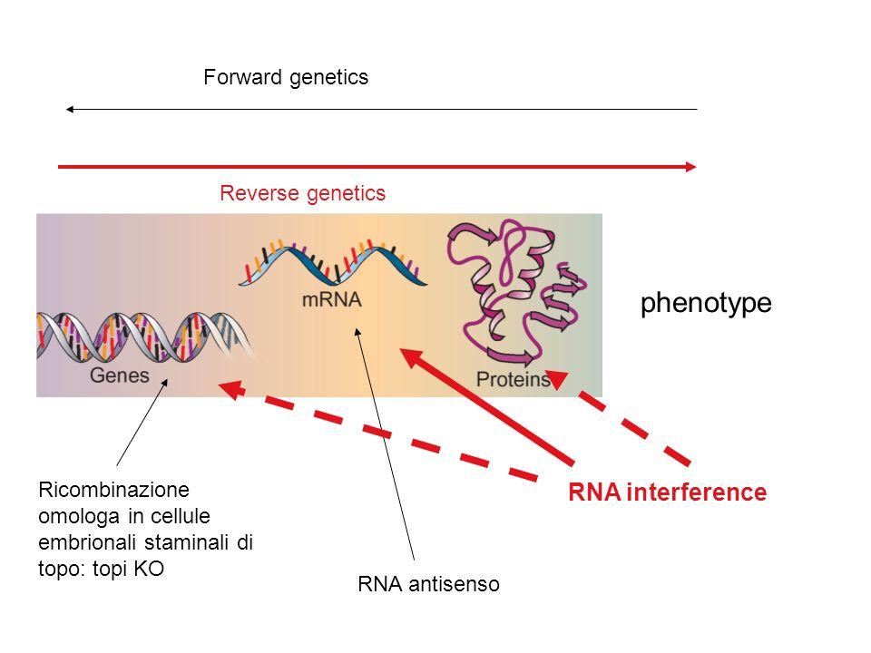 phenotype Forward genetics Reverse genetics Ricombinazione omologa in cellule embrionali staminali di topo: topi KO RNA antisenso RNA interference