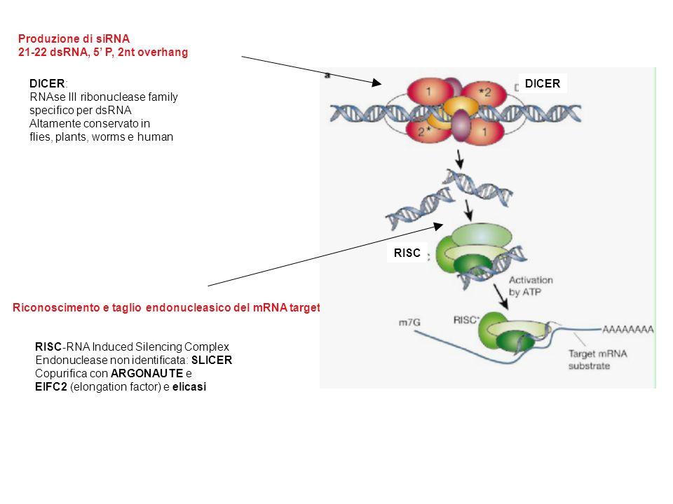 Produzione di siRNA 21-22 dsRNA, 5 P, 2nt overhang Riconoscimento e taglio endonucleasico del mRNA target DICER: RNAse III ribonuclease family specifico per dsRNA Altamente conservato in flies, plants, worms e human RISC-RNA Induced Silencing Complex Endonuclease non identificata: SLICER Copurifica con ARGONAUTE e EIFC2 (elongation factor) e elicasi DICER RISC