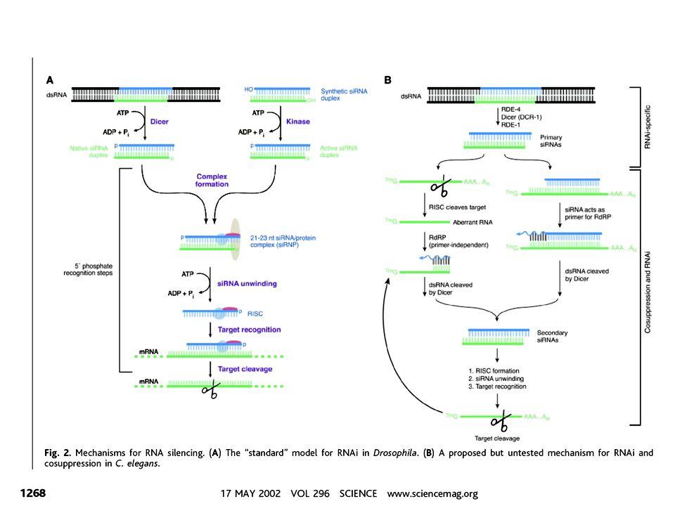 Un ruolo biologico per lRNAi.