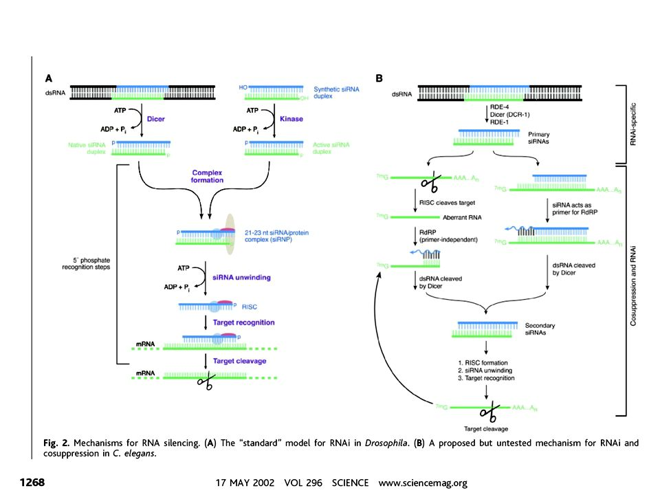 promoteri RNA polIII: U6 e H1 sintesi di short hairpin RNA (shRNA) e siRNA in vivo Nessuna sequenza richiesta dopo start site per la trascrizione TTTT: sufficiente per terminazione More efficiently processed by DICER!.