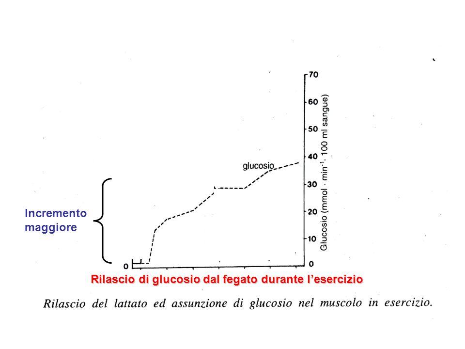 Rilascio di glucosio dal fegato durante lesercizio Incremento maggiore