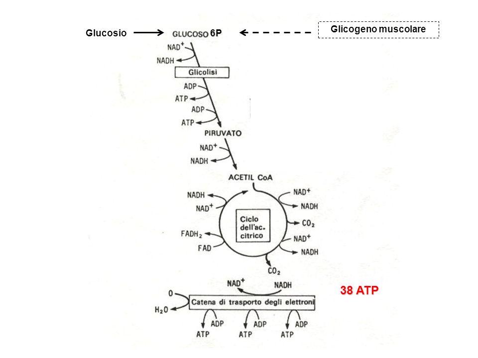 38 ATP 6PGlucosio Glicogeno muscolare