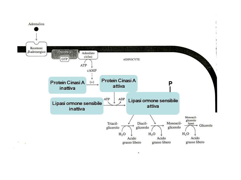 Protein Cinasi A inattiva attiva Lipasi ormone sensibile inattiva attivaP