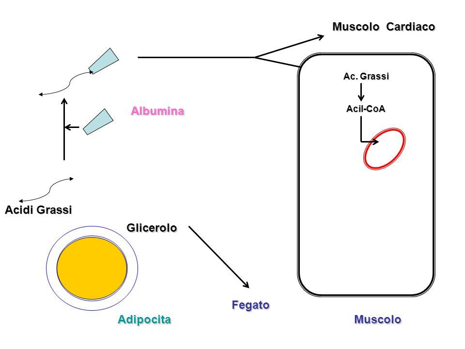 Acidi Grassi Adipocita Glicerolo Albumina Muscolo Cardiaco Ac. Grassi Acil-CoA Muscolo Fegato