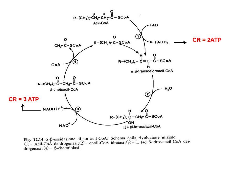 CR = 2ATP CR = 3 ATP