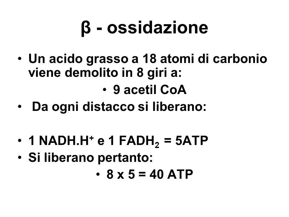β - ossidazione Un acido grasso a 18 atomi di carbonio viene demolito in 8 giri a: 9 acetil CoA Da ogni distacco si liberano: 1 NADH.H + e 1 FADH 2 =