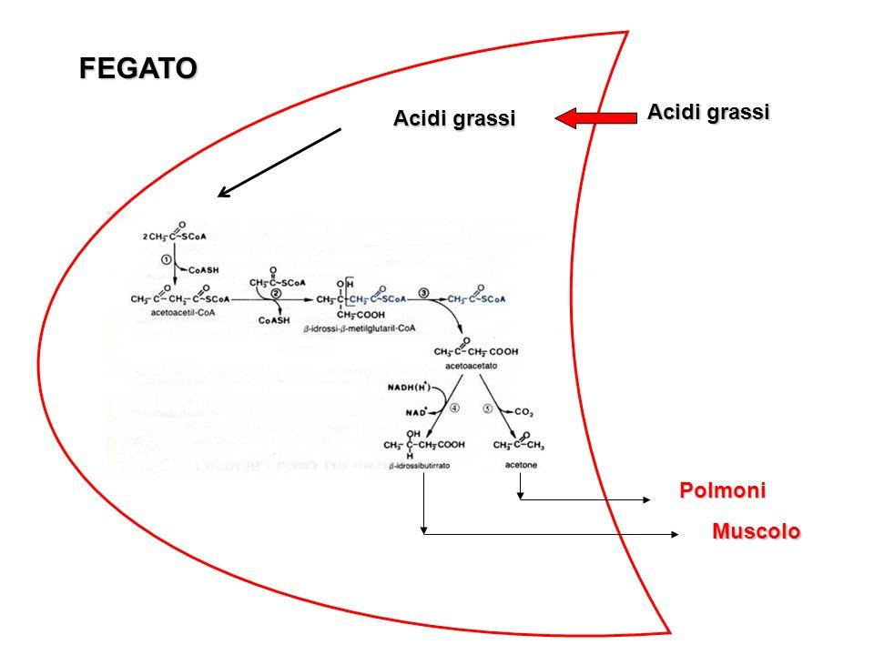 Acidi grassi Polmoni Muscolo FEGATO