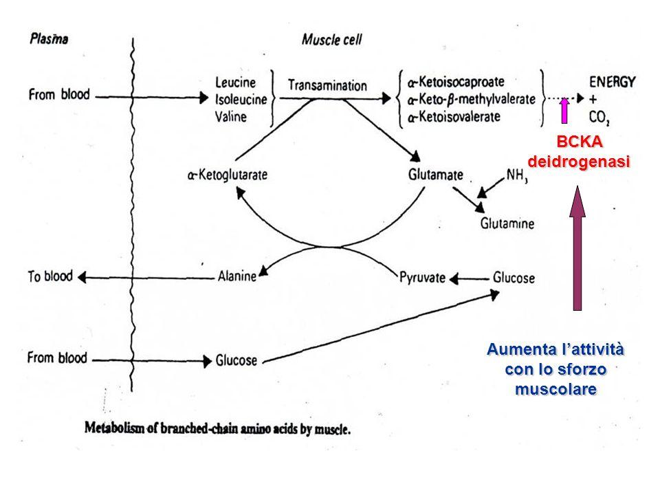 BCKA deidrogenasi Aumenta lattività con lo sforzo muscolare