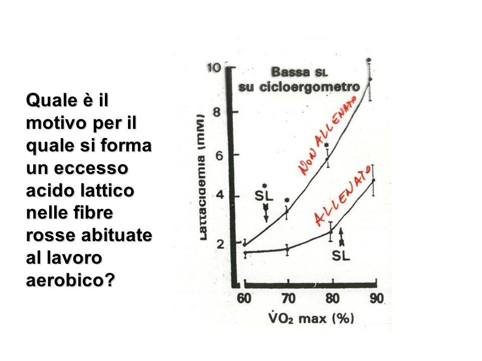 Quale è il motivo per il quale si forma un eccesso acido lattico nelle fibre rosse abituate al lavoro aerobico?