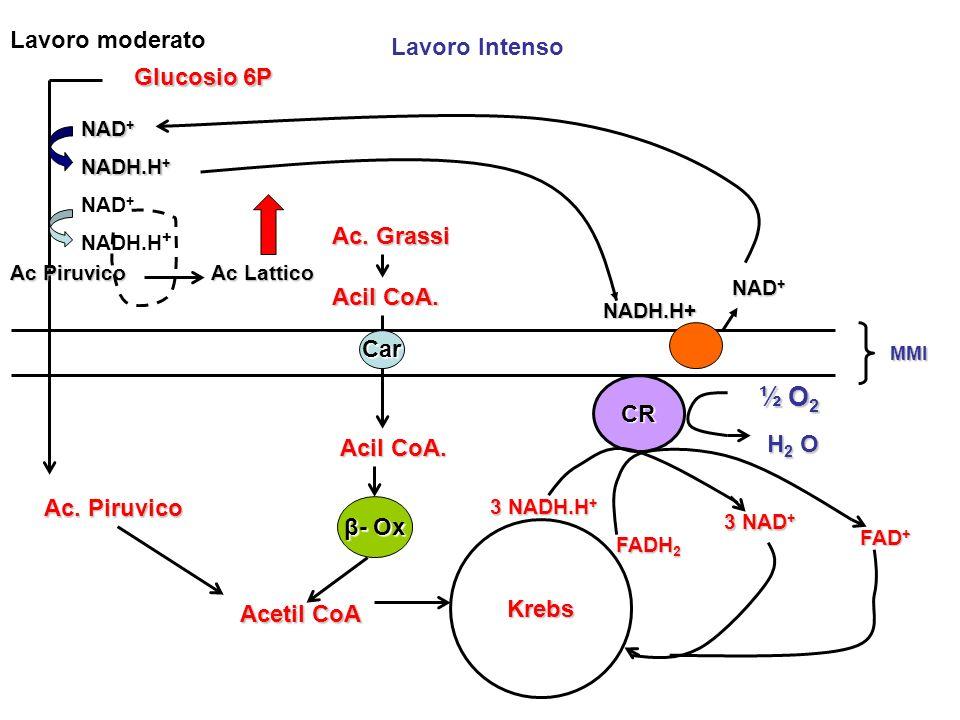 MMI Glucosio 6P Ac. Piruvico Acetil CoA Krebs 3 NADH.H + FADH 2 FADH 2 FAD + CR 3 NAD + ½ O 2 H2 OH2 OH2 OH2 O Lavoro moderato Lavoro Intenso Ac. Gras