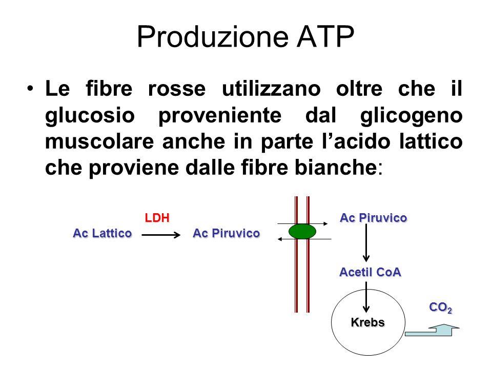 Produzione ATP Le fibre rosse utilizzano oltre che il glucosio proveniente dal glicogeno muscolare anche in parte lacido lattico che proviene dalle fi