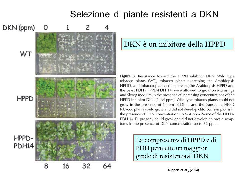 Selezione di piante resistenti a DKN Rippert et al., (2004) DKN è un inibitore della HPPD La compresenza di HPPD e di PDH permette un maggior grado di resistenza al DKN
