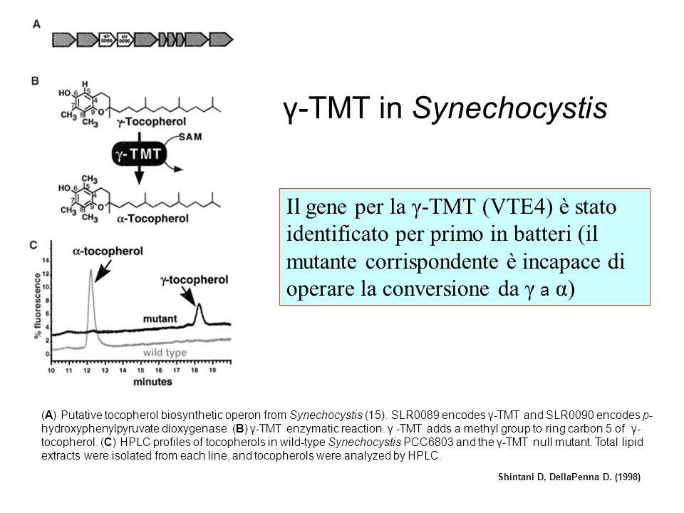 Effetto dei transgeni sullaccumulo di tocoferoli/tocotrienoli Rippert et al., (2004) Linee più resistenti Linea sensibile HPPD-PDH 4 tobacco plants could not reveal any expression of the PDH gene