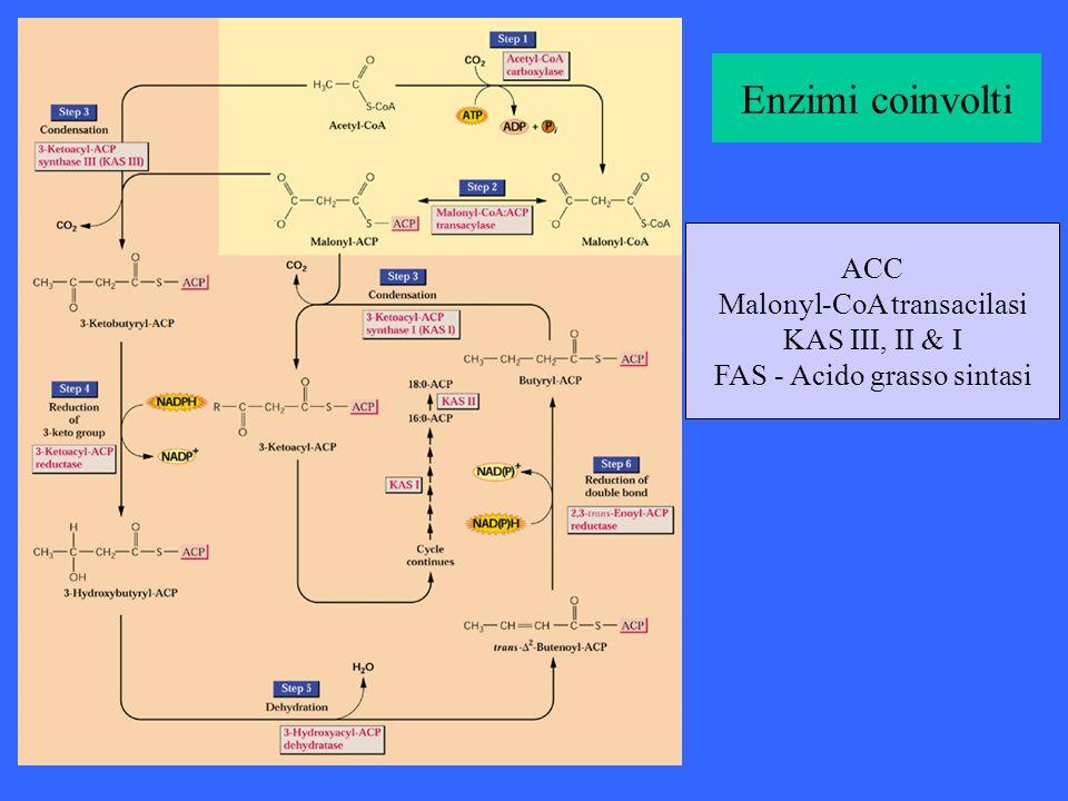 Enzimi coinvolti ACC Malonyl-CoA transacilasi KAS III, II & I FAS - Acido grasso sintasi