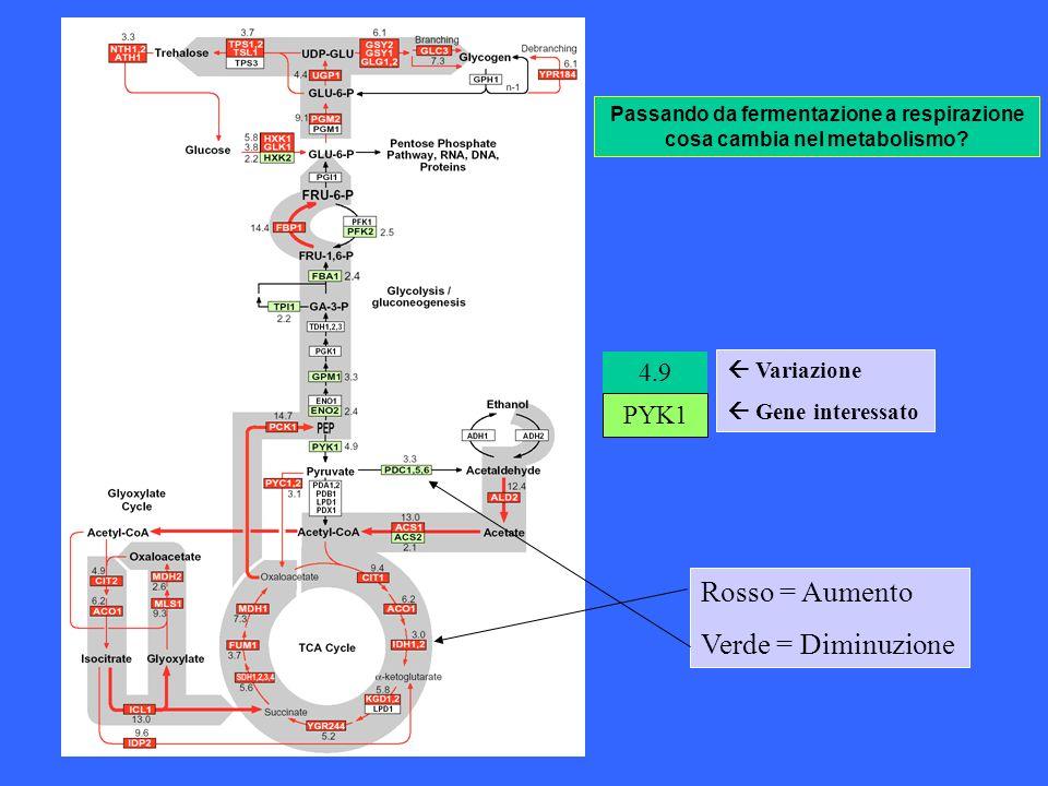 Passando da fermentazione a respirazione cosa cambia nel metabolismo? PYK1 4.9 Variazione Gene interessato Rosso = Aumento Verde = Diminuzione