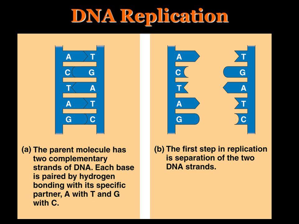 DNA Replication II