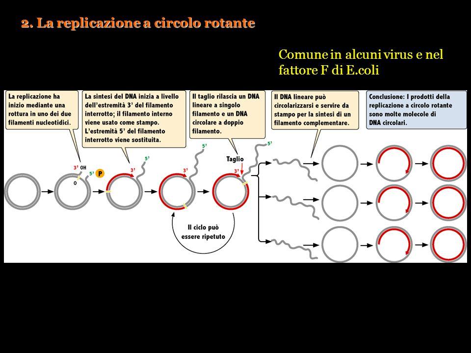 2. La replicazione a circolo rotante Comune in alcuni virus e nel fattore F di E.coli