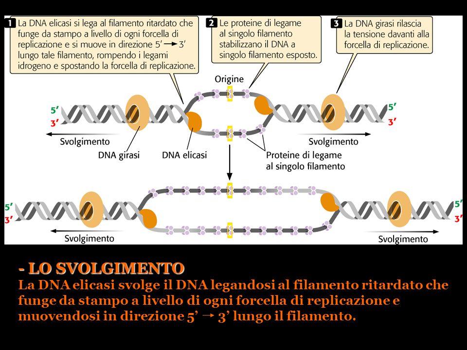 - LO SVOLGIMENTO La DNA elicasi svolge il DNA legandosi al filamento ritardato che funge da stampo a livello di ogni forcella di replicazione e muoven